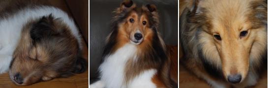シェルティー(成犬)画像